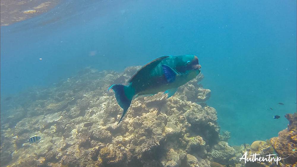 poisson perroquet