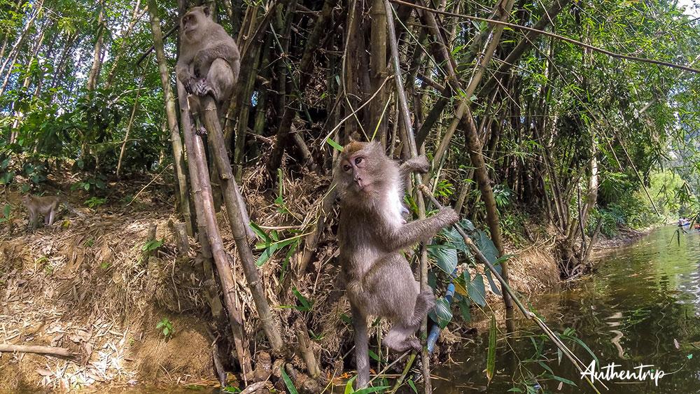 singes jungle khao sok