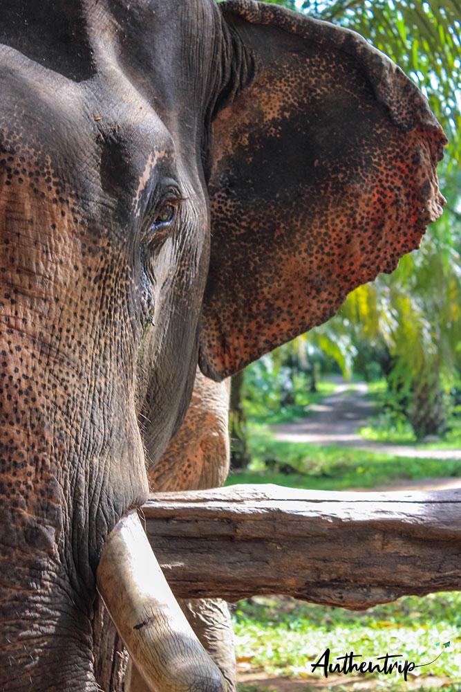 sonchana farm elephant