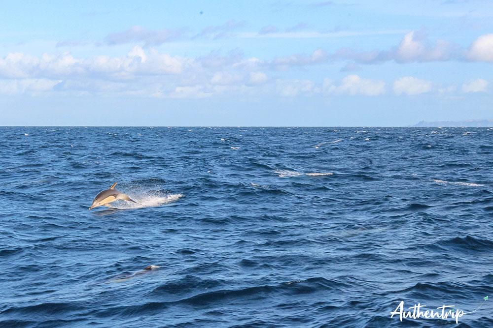 dauphin croisiere auckland