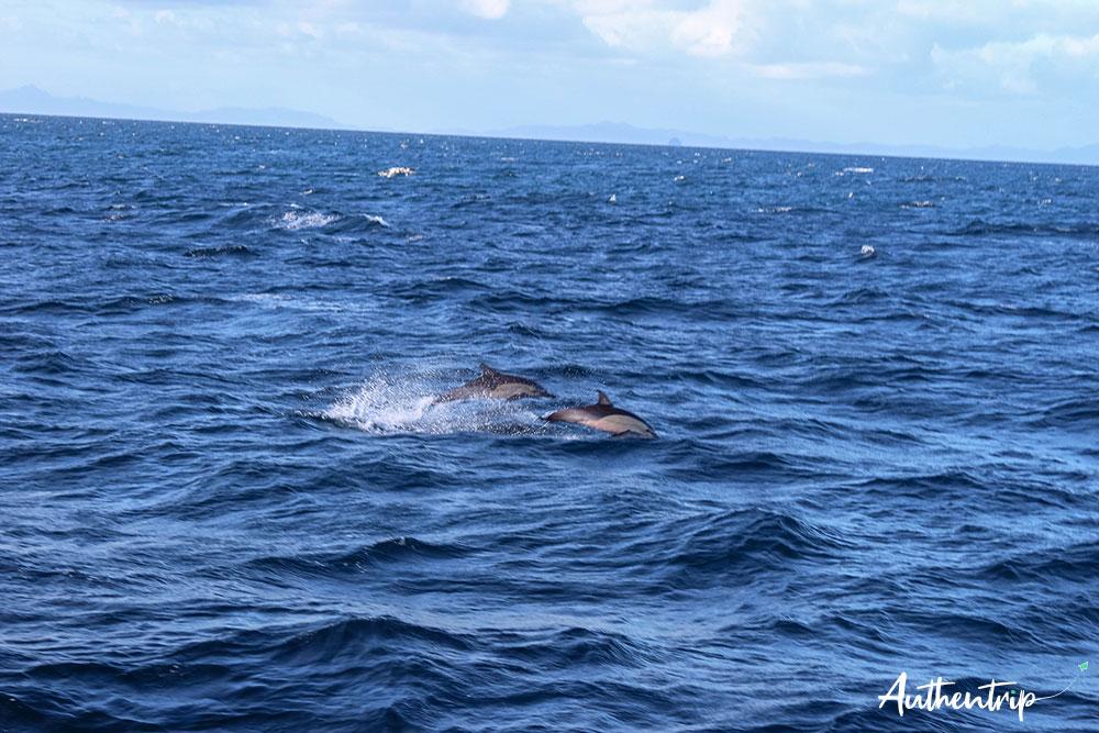 dauphins saut croisiere auckland