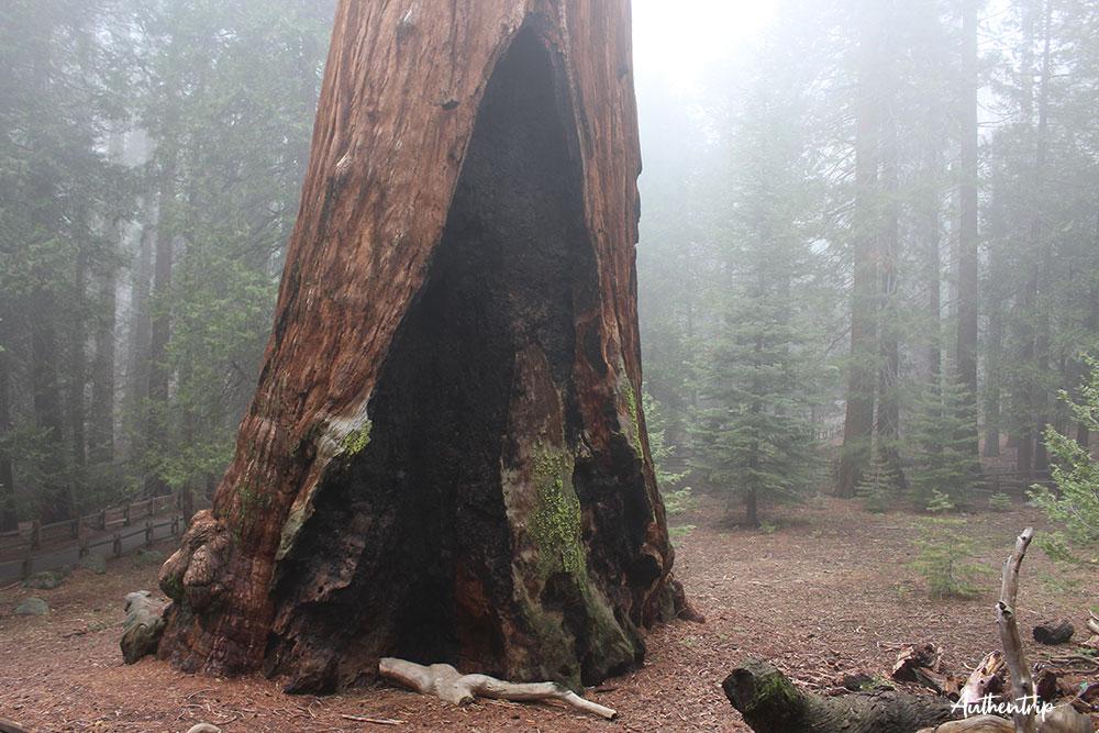 Sequoia National Park tronc