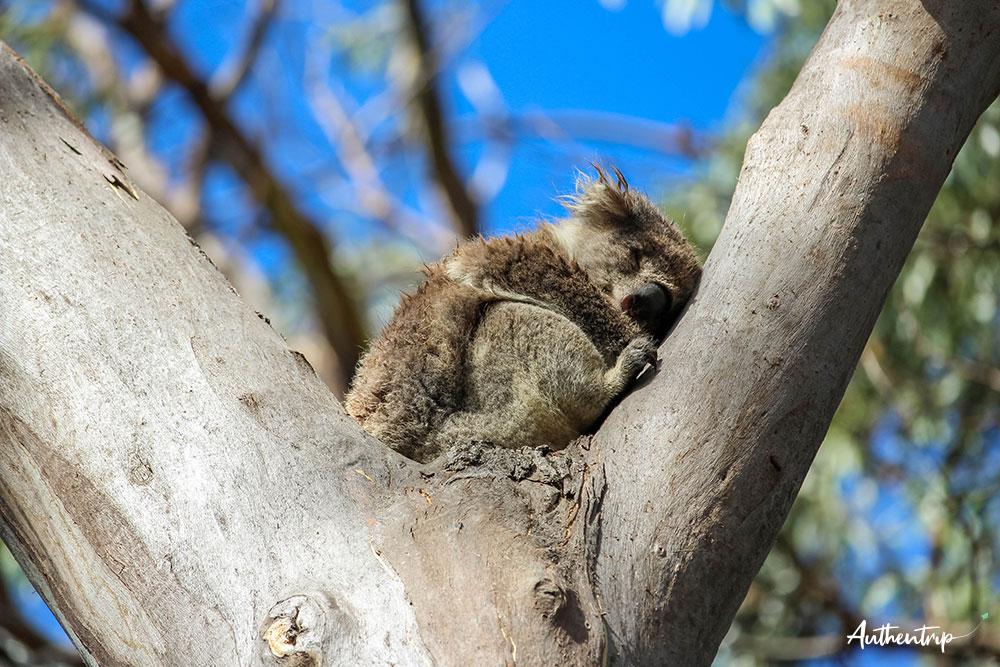 great ocean road Kennett river koala