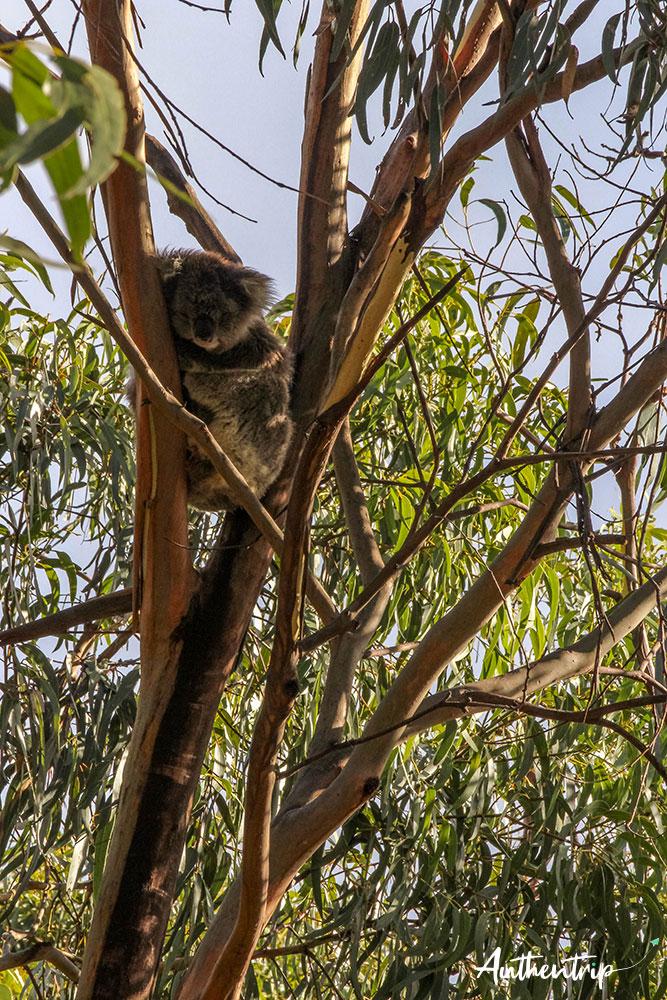great ocean road Kenneth river koala