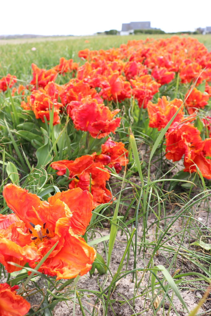 tulipes finistere sud plomeur