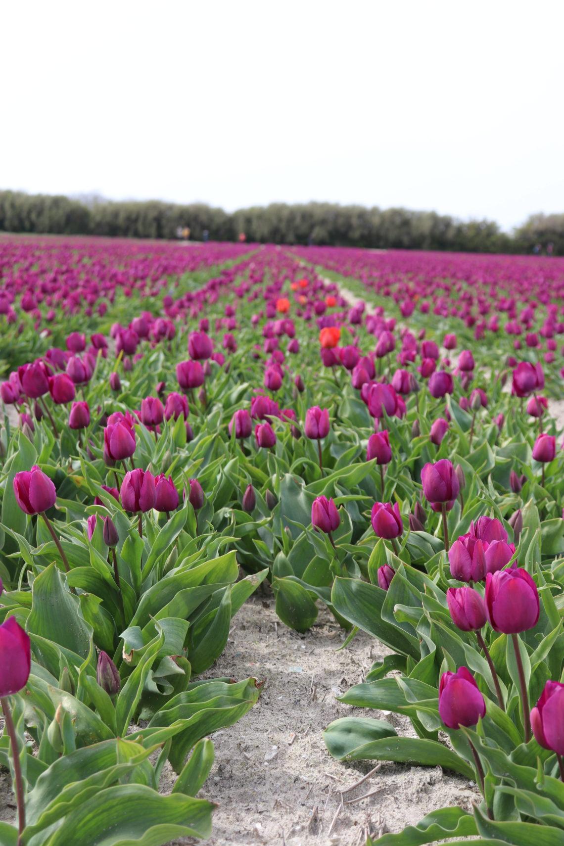 tulipes plomeur